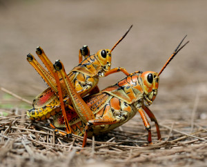 Cowboy locusts. Riding other locusts as horses.