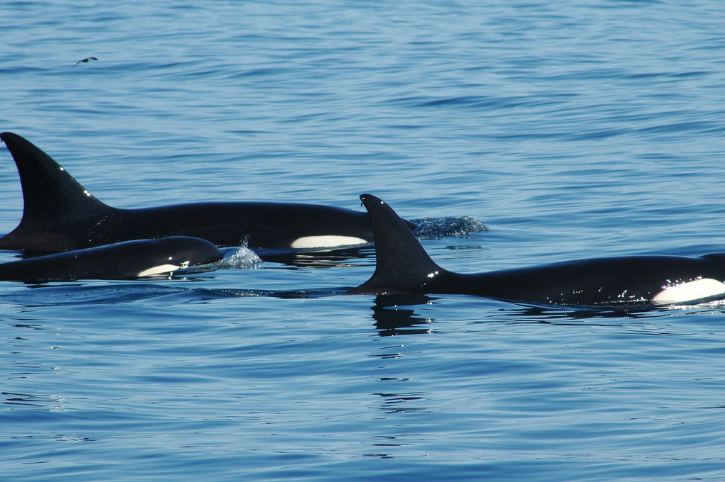 Orcas: the jerks of the sea